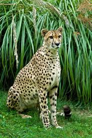 22 best cats images on pinterest animals big cats and wildlife art