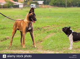 belgian malinois dog belgian malinois young puppy and french bulldog in park stock