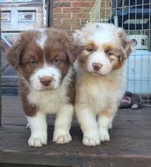 3 winds ranch australian shepherd red merle australian shepherd puppy adorable things pinterest