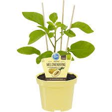Toom Bad Neustadt Obstpflanzen U0026 Gemüsepflanzen Online Kaufen Bei Obi
