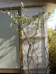 new trellis for collapsed rose u0026 tips for homegrown fruit