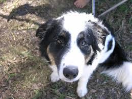 australian shepherd b c carly a sweet tri colored border collie u2013 adopted the dog