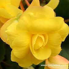 begonia flower tulip world yellow amerihybrid begonia 21101