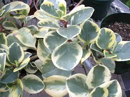 peperomia oblusifolia u0027variegata u0027 or common name variegated baby