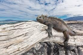 iguana island galápagos islands outdoor photographer