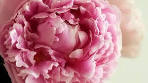 Peony Flowers Peony Flowers Wallpaper