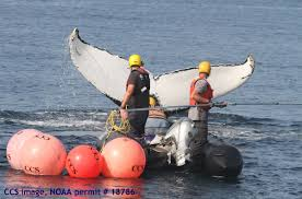rescuers free a young humpback whale tangled in buoys near cape