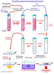 karyotyping worksheet worksheets