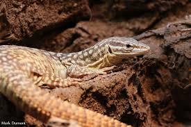 Seeking Lizard Lizards Archives The Cincinnati Zoo Botanical Garden