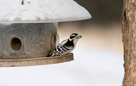 winter bird feeding good or bad for birds u2013 cool green science