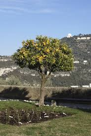 when to prune native plants trimming an orange tree u2013 how and when to prune orange trees