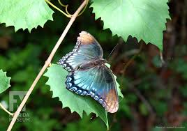 red spotted purple butterfly u2013 floridamuseumscience