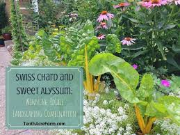 the edible swiss chard and sweet alyssum winning edible landscaping