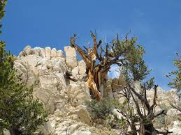 earth s oldest trees in climate induced race up the tree line uc