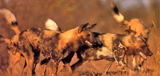 safari ltd african wild dog madikwe wild dog project safari in madikwe madikwe game reserve