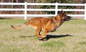 german shepherd x belgian malinois puppies strong working lines belgian malinois major x anna in hoobly