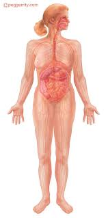 Anatomy Of Human Body Organs Understanding The Effects Of Alcohol Alcohol And The Human Body