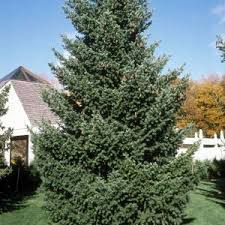 privacy trees for sale nature nursery