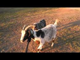 runnin c australian shepherds runnin c performance horses camo cowgirl