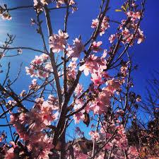 cherry blossom festival archives tech life magazine