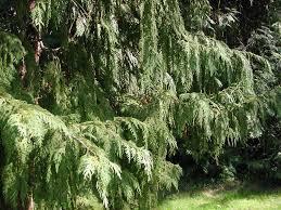 blueview nurseries coniferous evergreens