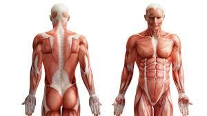 Human Anatomy Upper Body Lars Upper Body Thinglink