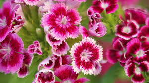 the flowers of carnation in pots growing flowers for landscaping