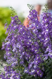 Climbing Plants That Flower All Year - everyone should plant angelonia plant care evergreen and plants