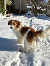 wszystko o bichon frise kooikerhondje dogs rare breeds pinterest love dogs and