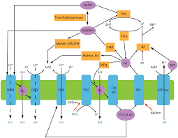 genome scale modeling of light driven reductant partitioning and