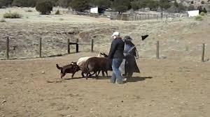 australian shepherd herding herding instinct test australian shepherd skye youtube