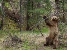 Dancing Bear Meme - when plan b doesn t work pics ngiggles com