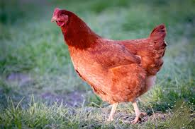 Backyard Chickens Magazine Dare 2 Dream Farms Backyard Chickens Delivered To Your Door Kcet