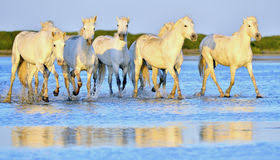 camargue white horse wallpapers white horse running through water in sunset light stock photo