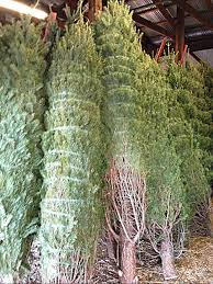 christmas tree season begins at jones farms and fairview farm in