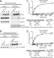 Blue And White Flag With Red C Mechanism Of Apc Ccdc20 Activation By Mitotic Phosphorylation