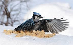 Audubon Backyard Bird Count by Science Fun For A Good Cause The Great Backyard Bird Count