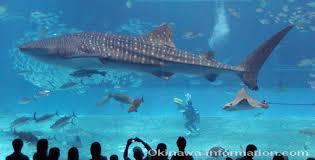japanese aquarium okinawa churaumi aquarium whale sharks dolphin shows