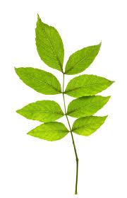 mississauga ca residents parks emerald ash borer