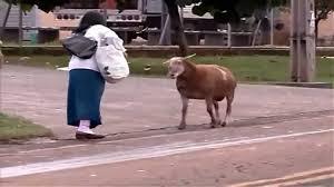 imagenes graciosas videos videos chistosos y graciosos cabra loca suelta f76434160 video
