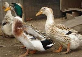 ducks sale local classifieds buy and sell in kent preloved