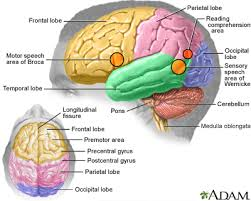 What Is The Main Function Of The Medulla Oblongata Nervous System Information