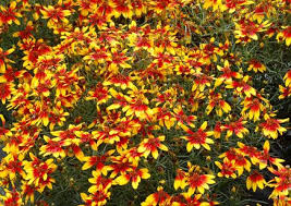 106 best coreopsis images on pinterest daisy perennial and