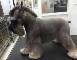 schnauzers hair cuts best 25 schnauzer grooming ideas on pinterest schnauzer cut