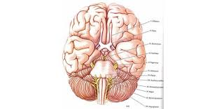 Human Anatomy Exam Questions 50 Question Anatomy 214 Cranial Nerves Test Proprofs Quiz