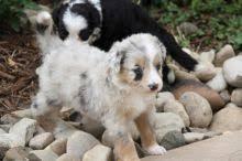 australian shepherd up for adoption calgary australian shepherd dogs puppies for sale classifieds