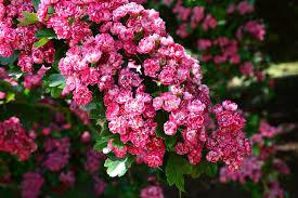 free photo flower flowering cherry blossom cherry tree blossom