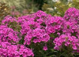 the flowers of summer at my 10 must summer perennials