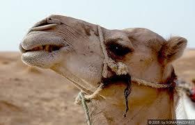 si e piano chebbi il cammello si è meritato un bel primo piano sorridi e
