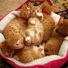 Kitten Bed Six Little Ginger Kittens All From The Same Litter U2026but You Won U0027t